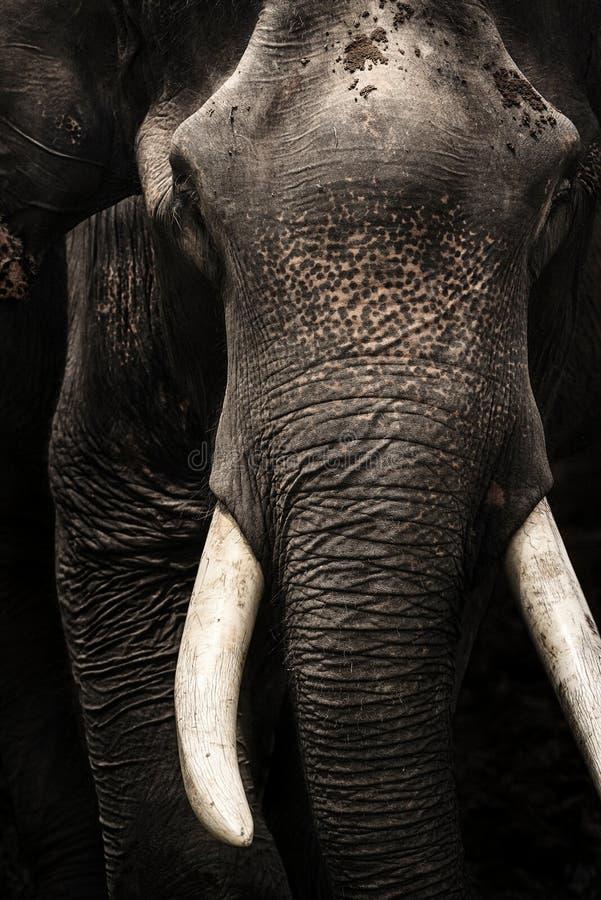 Weißes Elfenbein des Asien-Elefant-Kopfes, Stoßzahn lokalisiert auf schwarzem backgroun lizenzfreies stockbild