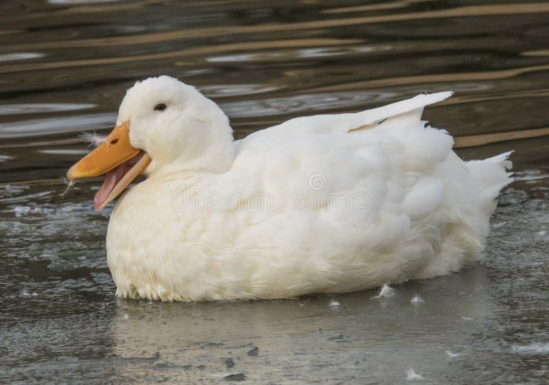 Weißes Entenlächeln lizenzfreie stockfotos