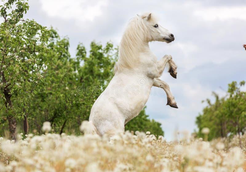 Weißes Errichtungsdie shetlandinseln-Pony stockbild