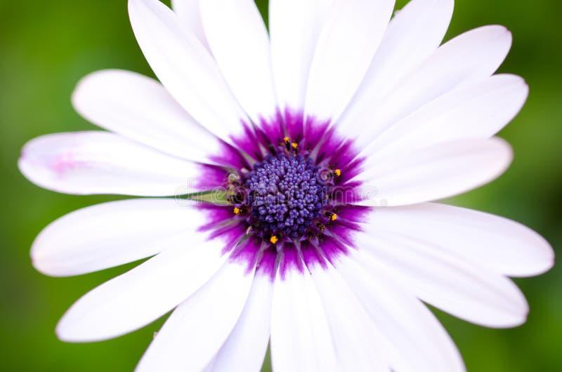 Weißes Gänseblümchen stockfoto