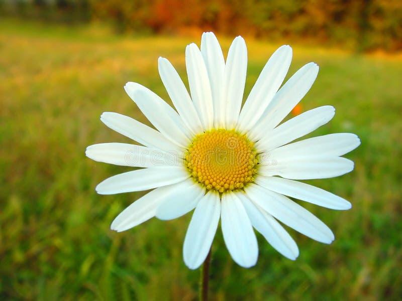 Weißes Gänseblümchen auf buntem Hintergrund lizenzfreies stockfoto