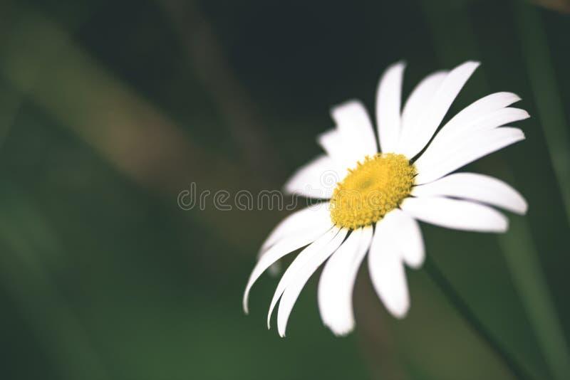 weißes Gänseblümchen blüht auf grünem Hintergrund - Weinlesepastellfarbe lizenzfreies stockfoto