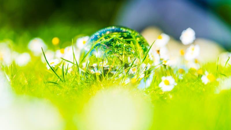 Weißes Gänseblümchen des Frühlinges reflektierte sich in einer Glaskugel stockbild