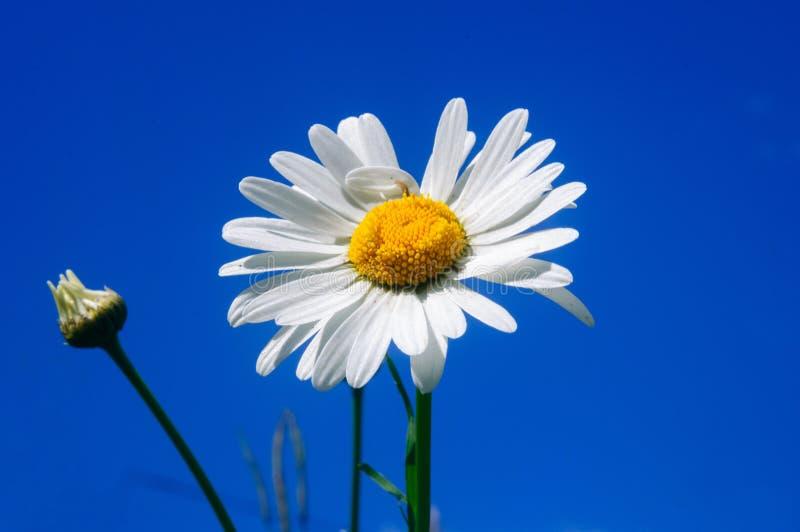 Weißes Gänseblümchen gegen blauen Himmel, flache Schärfentiefe stockfotografie
