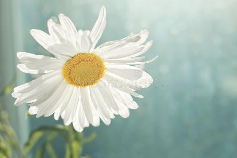 Weißes Gänseblümchen gegen unscharfes Fenster stockfoto