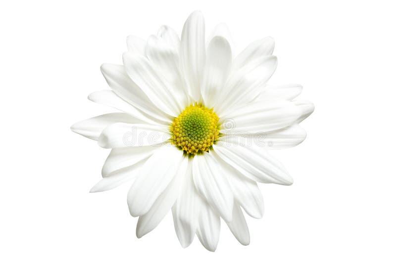 Weißes Gänseblümchen getrennt stockbild