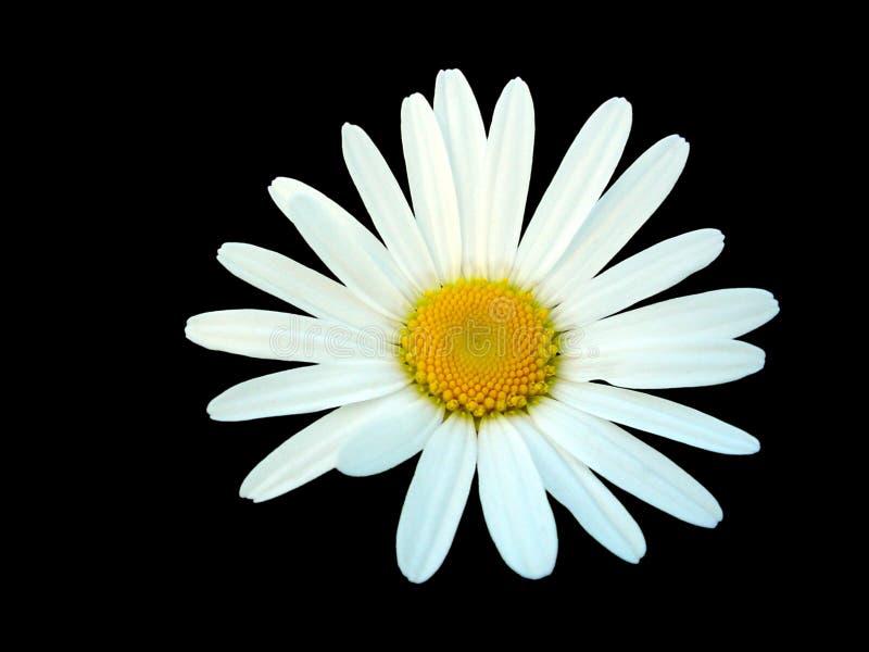 Weißes Gänseblümchen getrennt auf schwarzem Hintergrund