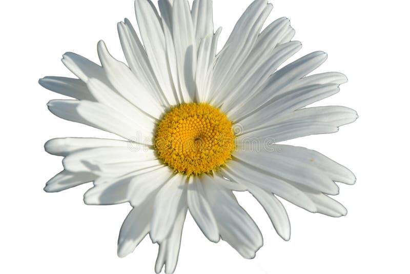 Weißes Gänseblümchen lokalisiert auf weißem Hintergrund stockfotografie