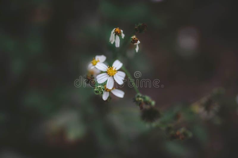 Weißes Gänseblümchen ` s stockfotos