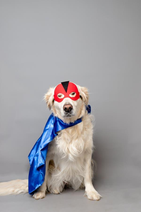 Weißes golden retriever mit einer roten Heldmaske und einem blauen Kap gegen einen grauen nahtlosen Hintergrund stockfotografie