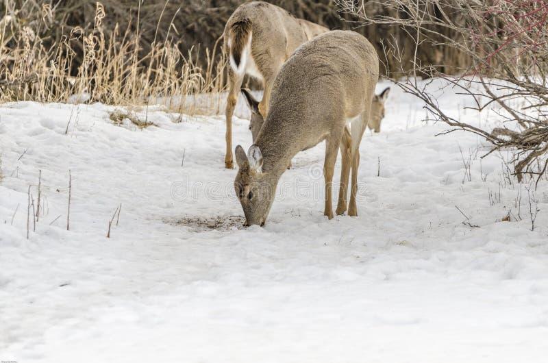 Weißes Heck-Rotwild Montana lizenzfreies stockfoto