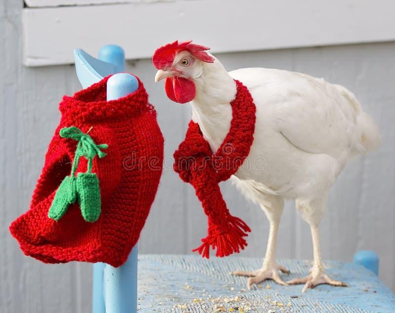 Weißes Hennenhuhn stockbilder