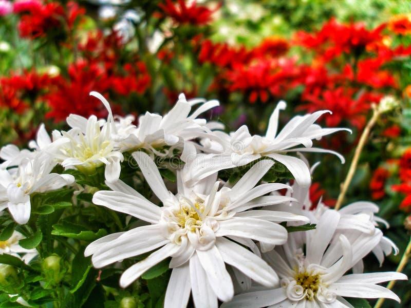 Weißes Holz Aster Blumen in einem Garten lizenzfreies stockfoto
