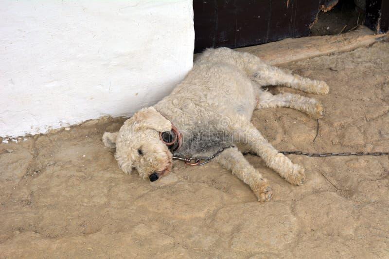 Weißes Hundeschlafen II lizenzfreies stockbild