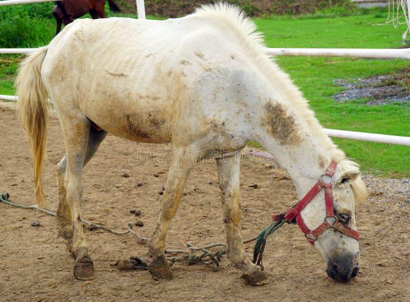 Weißes hungriges Pferd lizenzfreie stockbilder
