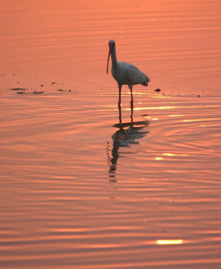 Weißes IBIS im Wasser am Sonnenuntergang stockfotos