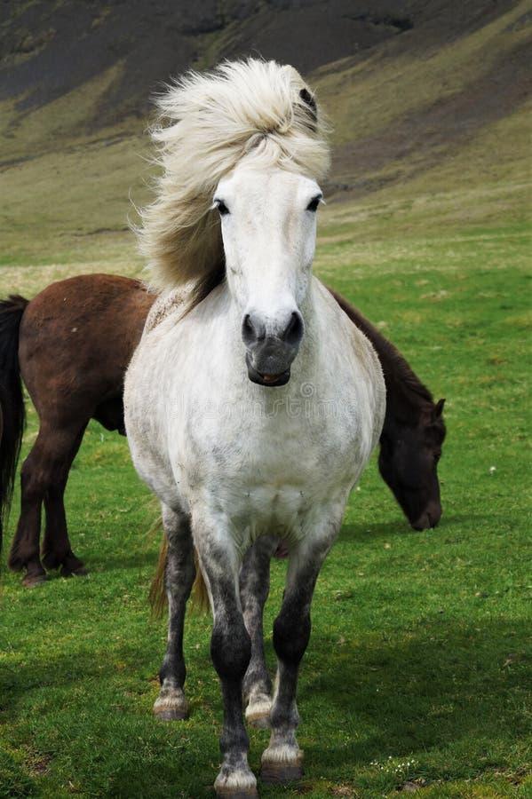 Weißes isländisches Pferd auf Wiese stockbilder