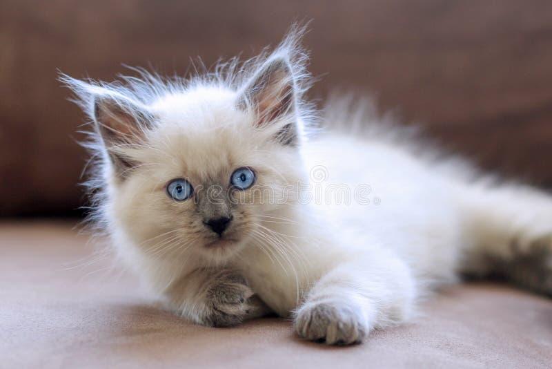 Weißes Kätzchen lizenzfreies stockbild