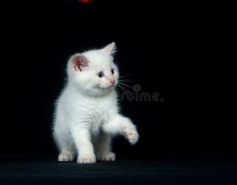 Weißes Kätzchen, das auf schwarzem Hintergrund spielt lizenzfreies stockbild