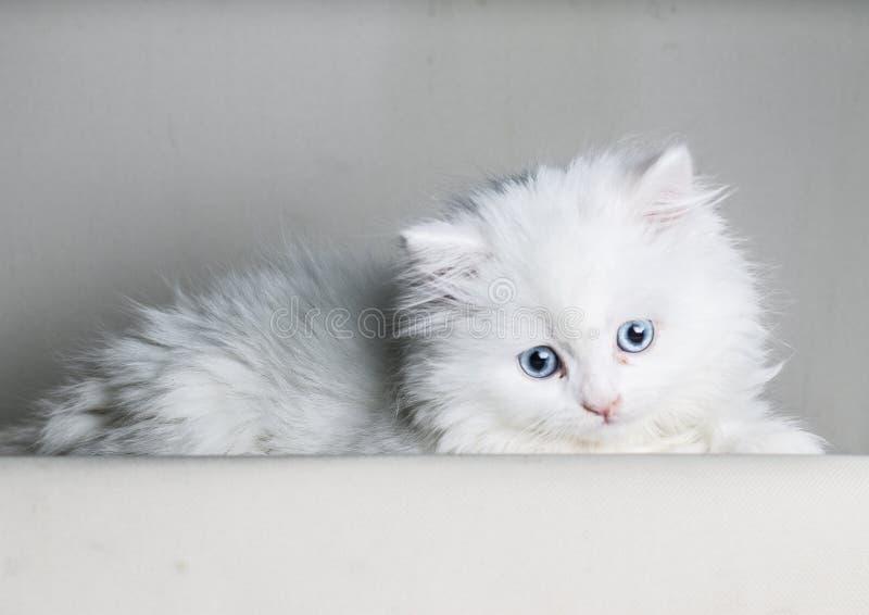 Weißes Kätzchen der persischen Katze, das liegt die Kamera unten, betrachtend unten lokalisiert auf weißem backgrownd - Textraum stockfoto