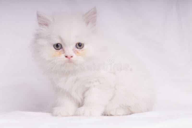 Weißes Kätzchen der persischen Katze, das liegt Kamera auf weißem backgrownd unten, unten betrachtend - Textraum lizenzfreies stockbild