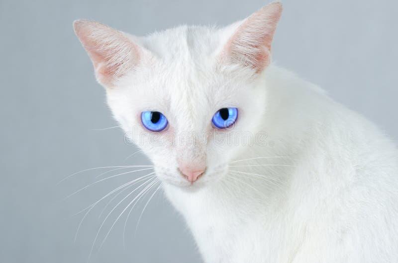 Weißes Kätzchen Porträt der Reinweiß-Katze mit blauen Augen auf lokalisiertem Hintergrund, Vorderansicht lizenzfreie stockfotos