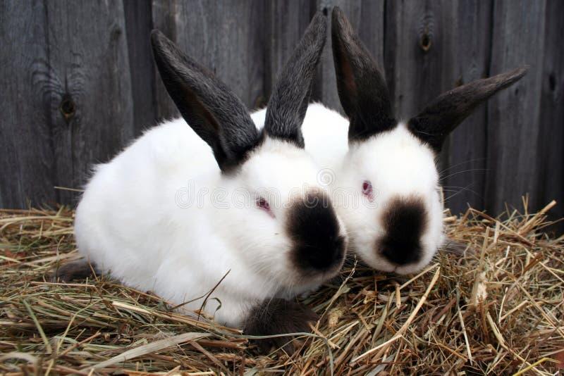 Weißes Kalifornien-Kaninchen stockbild