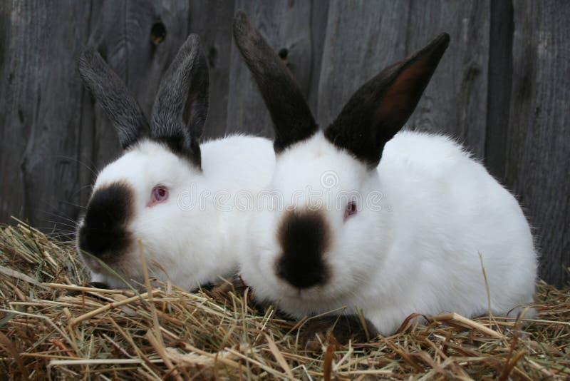 Weißes Kalifornien-Kaninchen stockfotografie