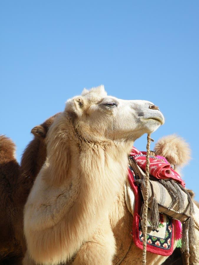 Weißes Kamel stockbilder
