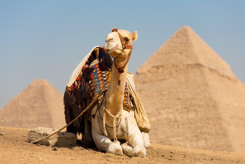 Weißes Kamel-stillstehende Pyramiden Cheops lizenzfreies stockfoto