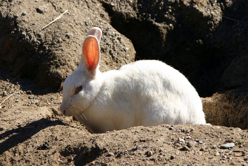 Weißes Kaninchen stockbilder