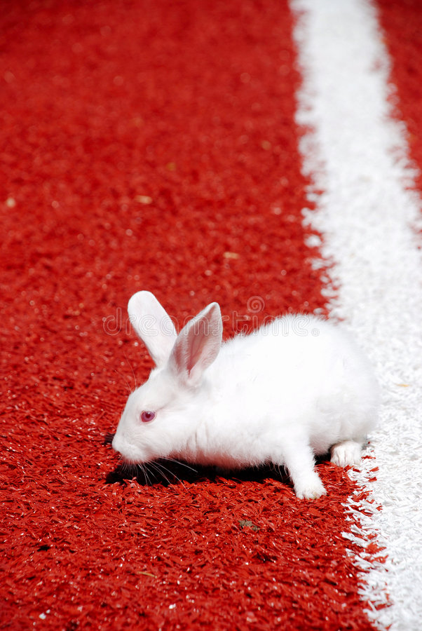 Weißes Kaninchen auf einer Rennbahn   stockbilder