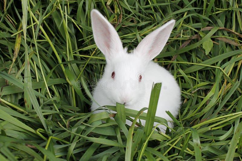 Weißes Kaninchen, das Gras kaut lizenzfreie stockfotografie