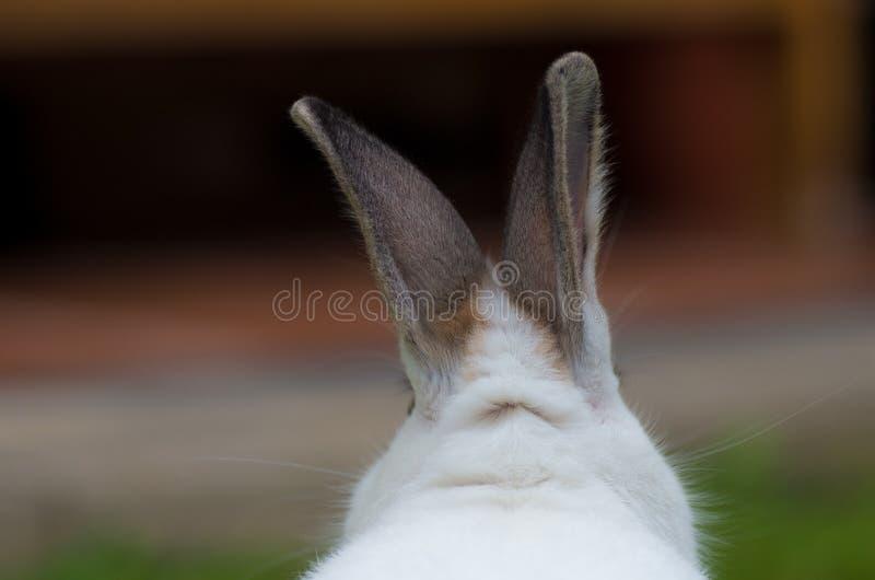 Weißes Kaninchen mit undeutlichem Hintergrund stockfoto