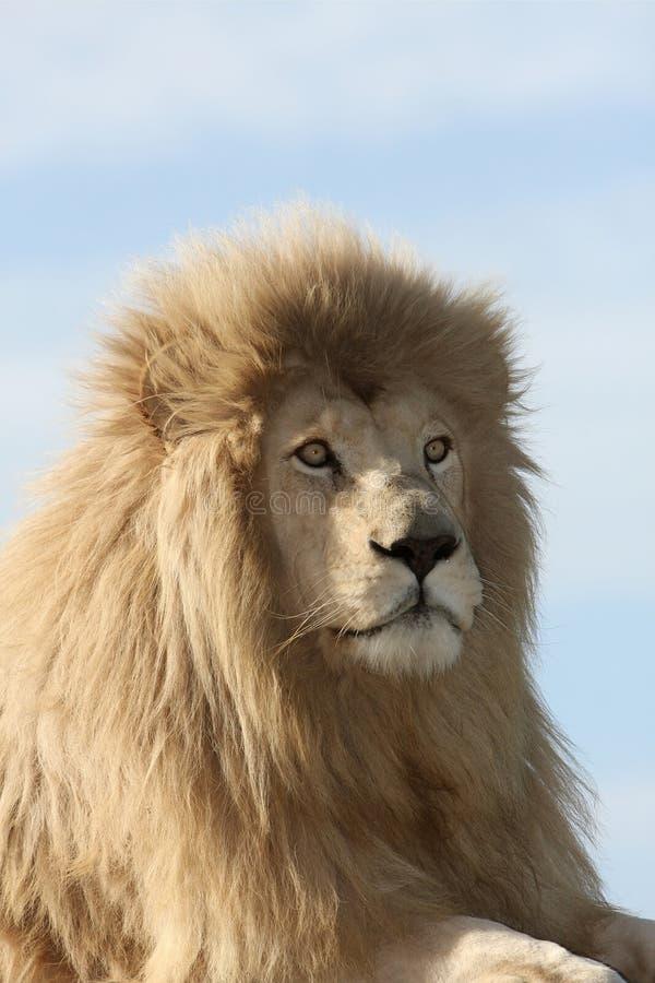 Weißes Löwe-Portrait stockbilder