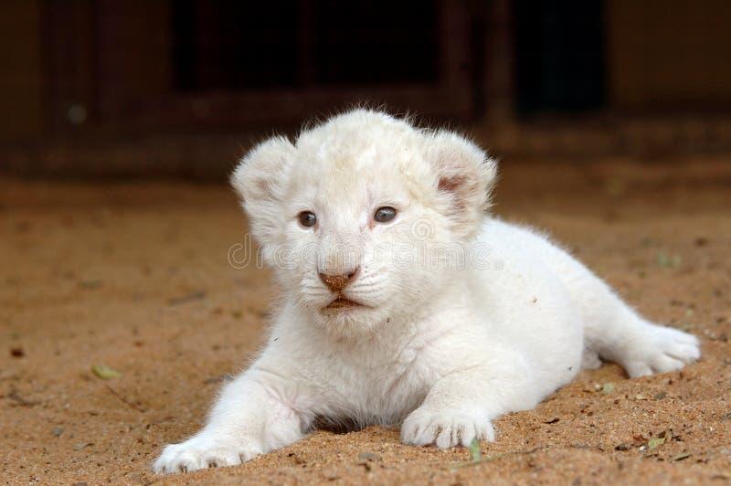 Weißes Löwejunges lizenzfreies stockbild