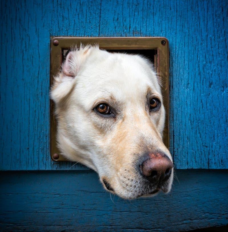 Weißes Labrador mit dem Kopf, der aus catflap in der blauen Holztür heraus haftet stockfotografie