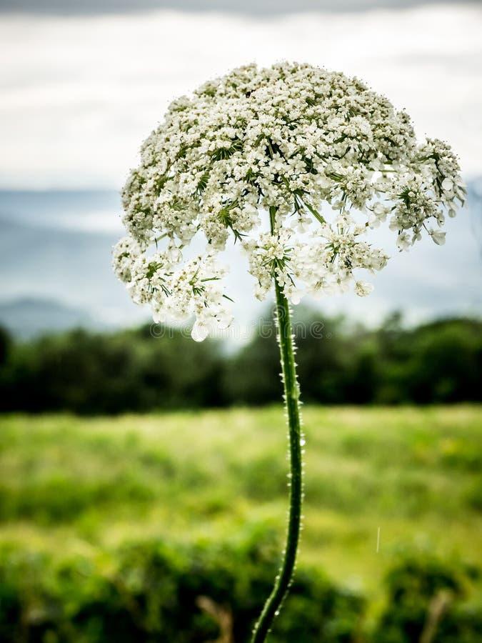 Weißes Lacy Wildflower Close Up stockbilder