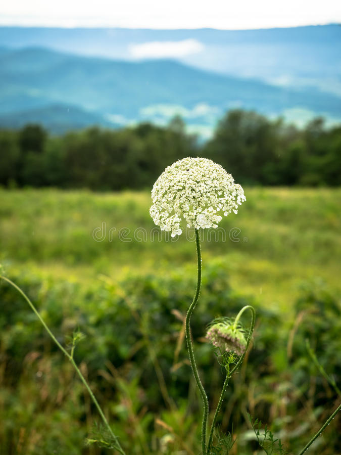 Weißes Lacy Wildflower in der Berglandschaft stockfotografie