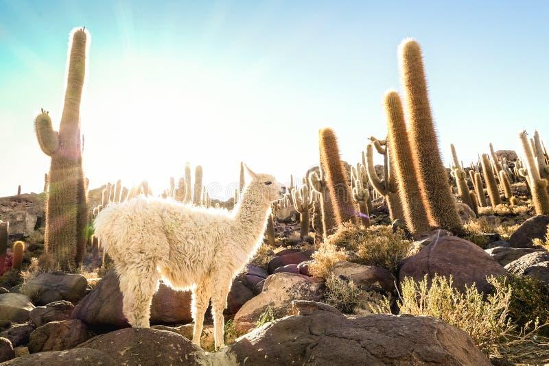 Weißes Lama am Kaktusgarten durch Isla Incahuasi in Salar de Uyuni Bolivia stockfotografie