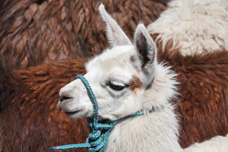 Weißes Lama - Schätzchentier lizenzfreies stockbild