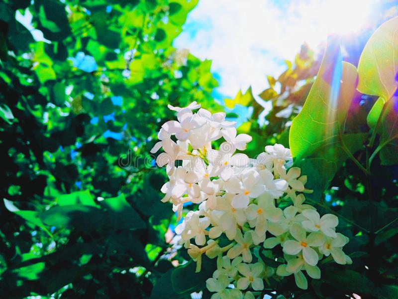 Weißes lila geblüht lizenzfreie stockfotos