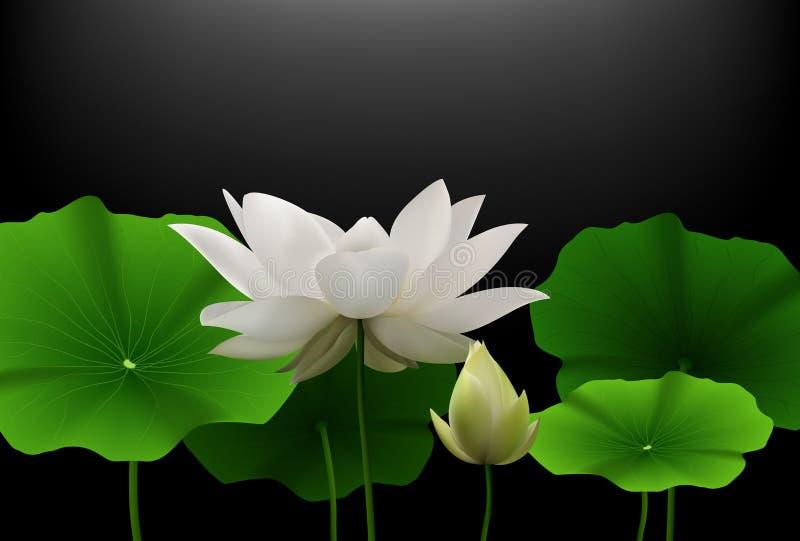 Weißes Lotus-Blume Mit Grün Verlässt Auf Schwarzem Hintergrund ...