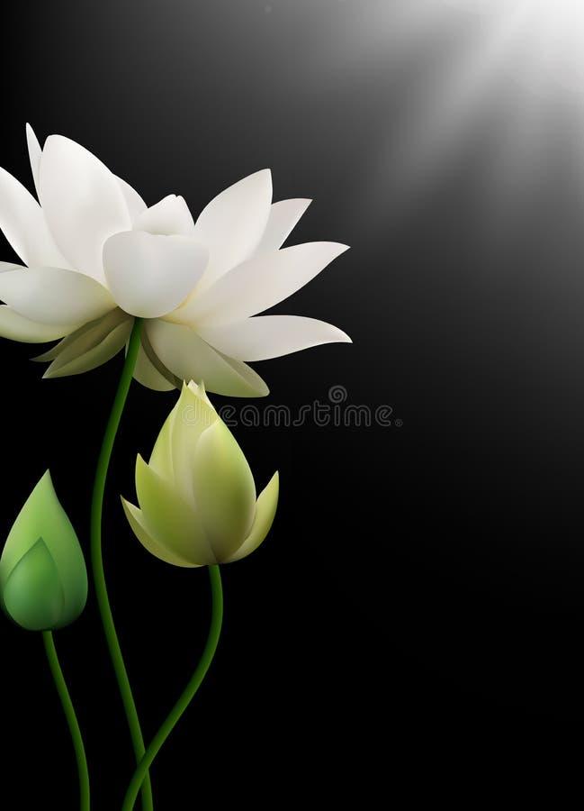 Weißes Lotus-Blumen Mit Strahlen Auf Schwarzem Hintergrund Vektor ...