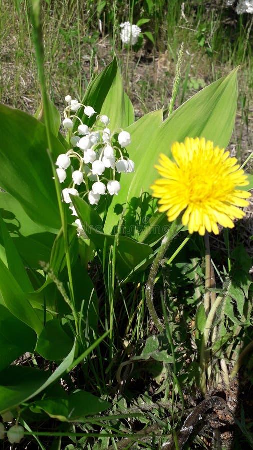 Weißes Maiglöckchen und gelbe Löwenzahnblüte in der Nähe lizenzfreie stockbilder