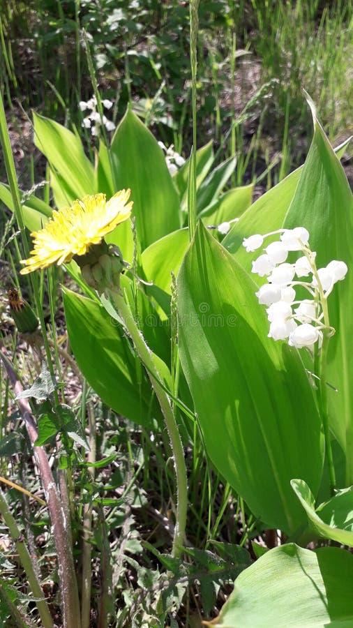 Weißes Maiglöckchen und gelbe Löwenzahnblüte in der Nähe lizenzfreie stockfotos