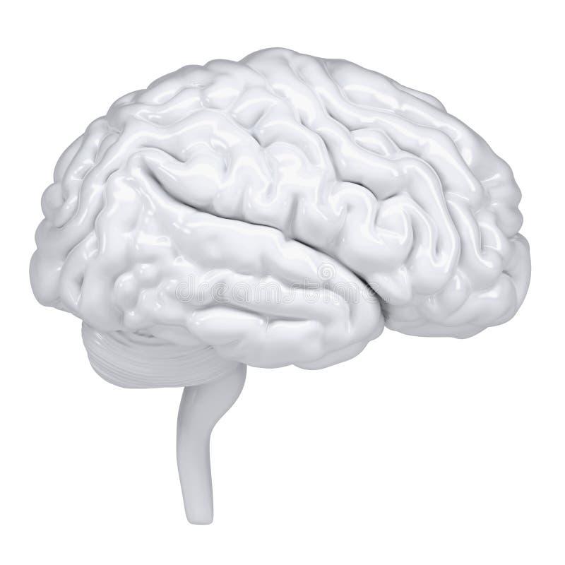 weißes menschliches Gehirn 3d. Eine Seitenansicht stock abbildung