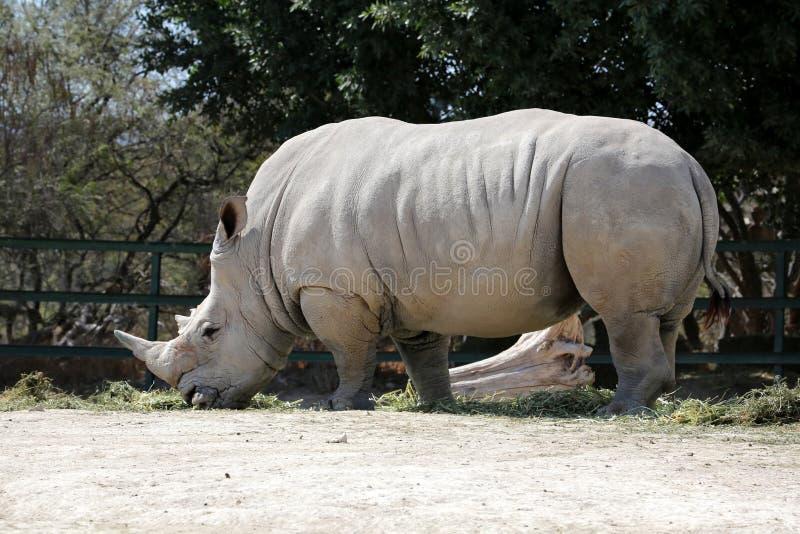 Weißes Nashorn lizenzfreies stockfoto