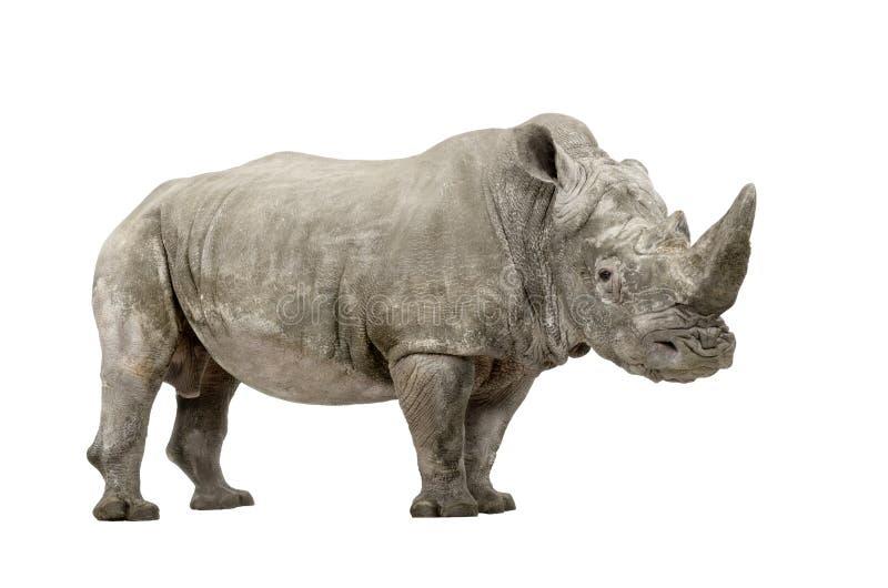 Weißes Nashorn - Ceratotherium simum (+/- 10 YE stockbilder
