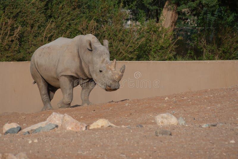 Weißes Nashorn, das durch seine Hörner vorführen schlendert stockbild